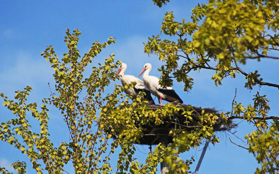 Storchenpaar in Engelbostel